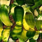 Кливии - сеянцы