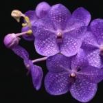 Орхидеи ванда