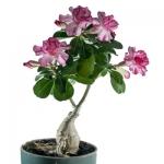 Адениум - привитые растения