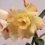 Адениум - привитые растения под заказ