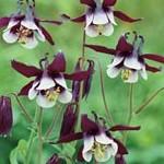 Aquilegia vulgaris William Guiness