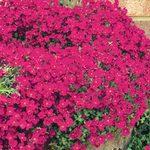 Aubretia Cascade Red