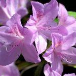 Azalea yedoense poukhanense