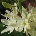 Camassia leichtlinii ssp. leichtlinii