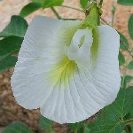 Clitoria ternatea white