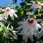 Dahlia campanulata