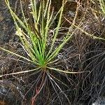 Drosophyllum lusitanicum Puerto de Galis