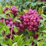 Eugenia myrtifolia (Syzygium paniculatum)