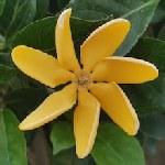 Gardenia sootepensis