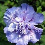 Hibiscus Syriacus Double Purple