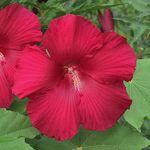 Hibiscus moscheutos Lord Baltimore