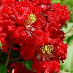 Lagerstroemia indica Red