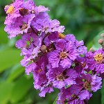 Lagerstroemia indica Lilac