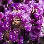 Lagerstroemia indica Purple