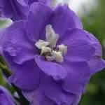 Дельфиниум NZ Lilac Ladies