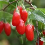 Lycium Chinense (ягоды годжи)