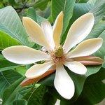 Magnolia biloba