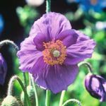 Meconopsis baileyi Hensol Violet