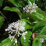 Medinilla albiflora