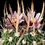 Stenocactus phyllacanthus grandicornus
