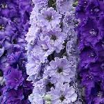Дельфиниум NZ New Millennium Purple Stars