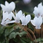 Цикламен плющелистный белый