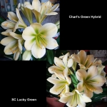 Clivia Charl's Green SC Lucky Green