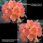 Clivia Tino Floradale Apricot GT