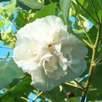 Hibiscus Syriacus Double White