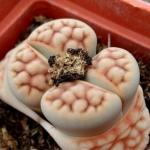 Lithops karasmontana var. aiaisensis cv. Orange