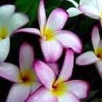 Plumeria Violet pink