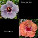 Tropical Hibiscus T Blue Light x T Autm