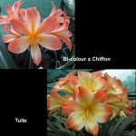 сеянец Clivia Bi-colour Chiffon Tulle