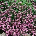 Мыльнянка базиликолистная розовая