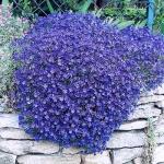 Aubretia Royal Series Blue