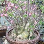 Adenium Arabicum Phet Na Wang