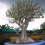 Adenium Arabicum Rachinee
