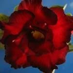 Adenium Obesum Black Red