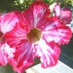 Adenium Obesum Flower's Flower