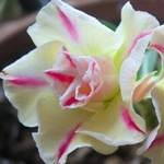 сеянец Adenium Obesum Lemon Pink