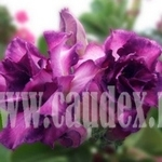 Adenium Obesum Purple Rain