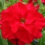 Adenium Obesum Red Dragon