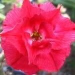 Adenium Obesum Red Sun