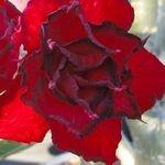 Adenium Obesum Red Angel