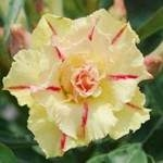 Adenium Obesum Siam Yellow