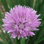 Allium schoenoprasum (шнит-лук)