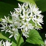 Allium ursinum (черемша)
