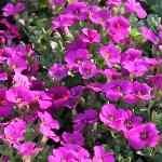 Arabis caucasica Purple