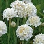 Armeria Formosa Joystick White