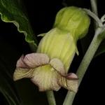 Atropanthe sinensis
